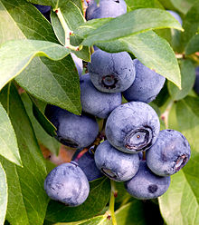 220px-Blueberries_on_branch